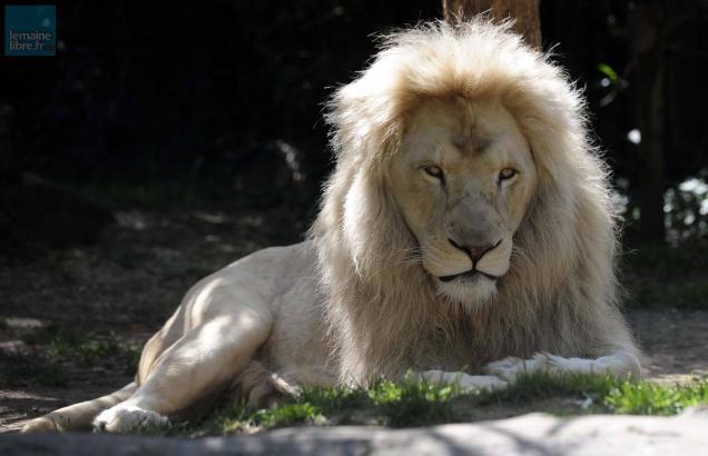 la fl che carnet rose trois b b s lions n s au zoo le maine libre. Black Bedroom Furniture Sets. Home Design Ideas