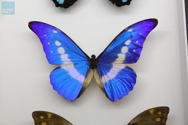 "Un papillon de genre morpho. Photo ""Le Maine Libre"""