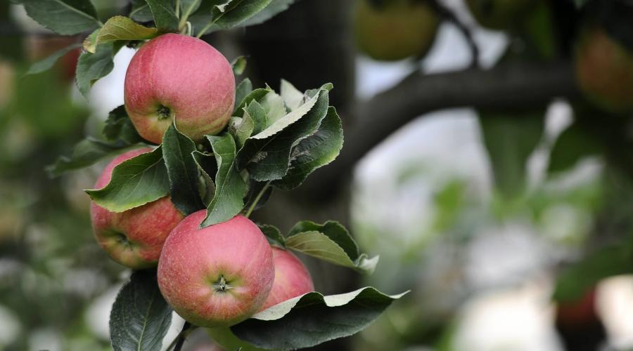 la fl che emploi 400 cueilleurs de pommes attendus dans les vergers le maine libre. Black Bedroom Furniture Sets. Home Design Ideas