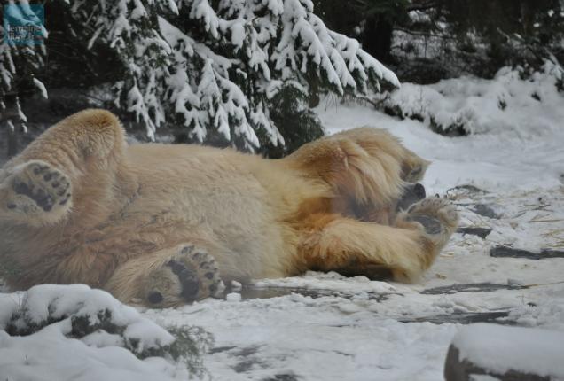 les ours polaires du zoo de la fl che dans leur l ment le maine libre. Black Bedroom Furniture Sets. Home Design Ideas