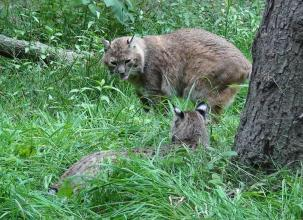 Le couple de bobcats dans leur enclos. Photo Spaycific Zoo.