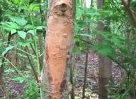 Si le dépérissement du feuillage peut être lié à un manque d'humidité, la présence de nécrose orangée sur le tronc et les rameaux est un symptôme caractéristique de la chalarose. Photo Département de la santé de la forêt, Estelle Mercier